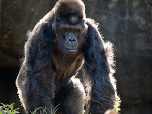 gorilla_ivan_ZA_8186